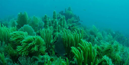 green coral swaying in the underwater current