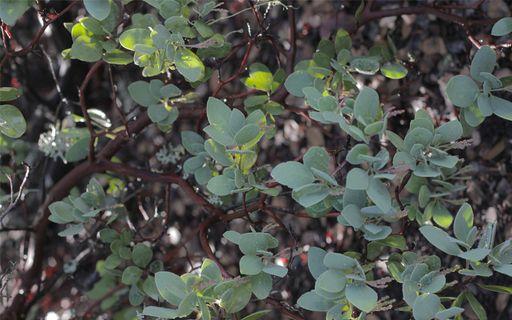 Green waxy leaved bush slightly dappled by sunlight